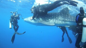 See Divers Rescue Four Car-Sized Sharks