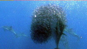 Bluefin Tuna Eat Bait Ball