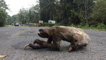 How Does A Sloth Cross The Road? The Slowest Way Imaginable.