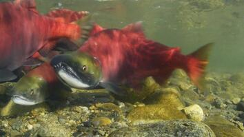 Millions of Salmon Return Home