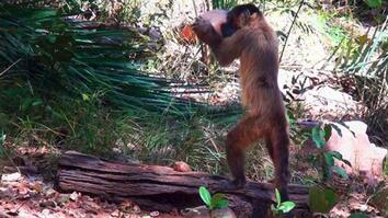Monkeys Use Stones to Crack Nuts