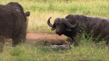 Rhino vs. Cape Buffalo