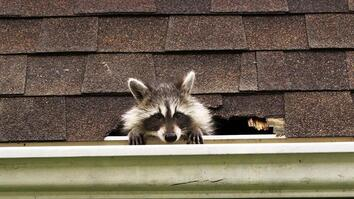How to Evict Your Raccoon Roommates