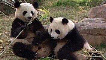 'Love' for Pandas?