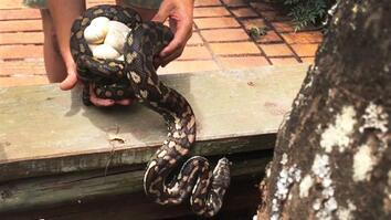 Snake Catcher Interrupts Python Mom With Her Eggs