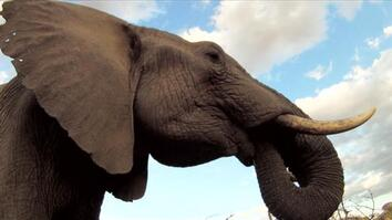 Thirsty Elephant Scores a Drink
