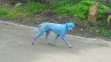 Watch: Blue Dogs Spotted in India—What's Causing It?
