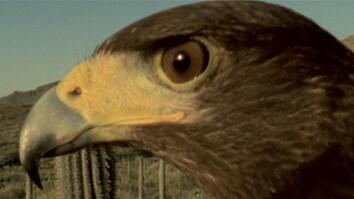 Harris's Hawks vs. Jackrabbit