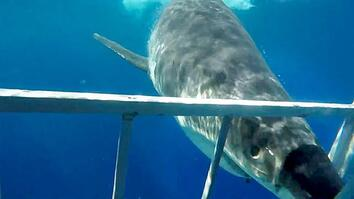 Close Call: Great White Shark Collides With Diving Cage