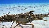 Lobster Locomotion