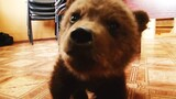 Watch: Adorable Baby Brown Bear Rescued