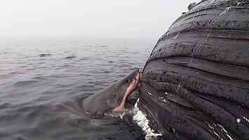 Watch: Great White Shark Feasts on Dead Whale