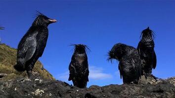 NG Live!: Tristan da Cunha Oil Spill