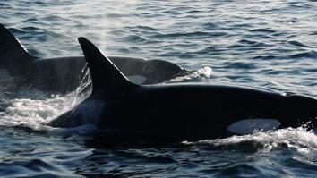 Killer Whales: How the Exxon Valdez Oil Spill Nearly Decimated This Pod (Part 2)