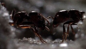 Fire Ant Border Wars