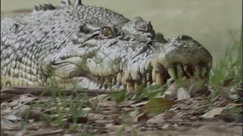 Beachside Croc