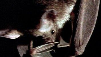 Vampire Bat vs. Wrinkle Bat