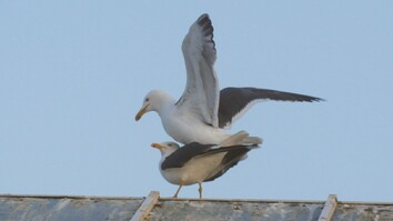 For Seagulls, Mating Is a Balancing Act