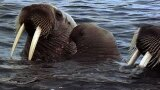 Animal Mothers: Walrus Cuddle
