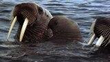 Animal Mothers: Walrus Cuddle