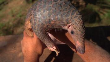 The Tragic Tale of a Pangolin, the World's Most Trafficked Animal