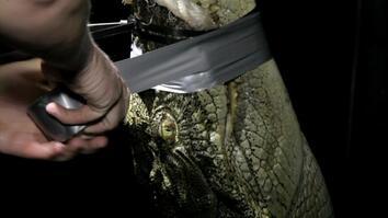 Nighttime Croc Capture