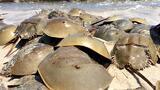 "Horseshoe Crabs Mate in Massive Beach ""Orgy"""