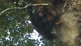 Chimps Batter Hives for Honey