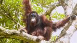 "Watch Orangutans Build Umbrellas, ""Kiss-Squeak,"" and More"