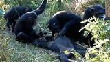 Chimps 'Mourn' Nine-year-old's Death?