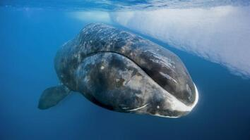 NG Live!: Catching a 200-Year-Old Whale