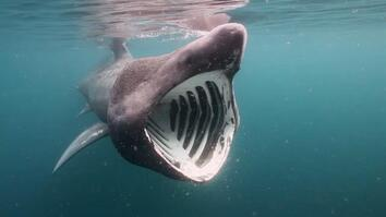 Breaching Basking Sharks