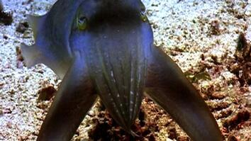 World's Deadliest: Sudden Death Cuttlefish