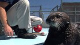 Sea Otters in Danger