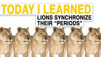 "TIL: Female Lions Synchronize Their ""Periods"""