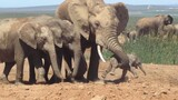 Shocking Footage of Baby Elephant Tossed Around by Adult, Explained