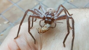 Giant Spider Devours Cricket On Man's Hand