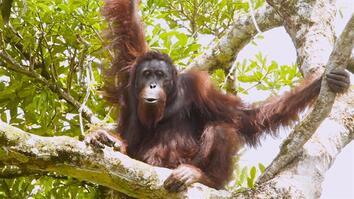 "Watch Orangutans Build Umbrellas, ""Kiss-Squeak,"" and More"