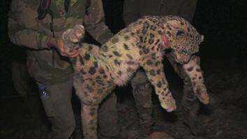Snow Leopards Tagged in Afghanistan—A First