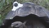 'Darwin' Tortoises 'Make' Video