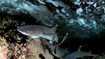 Night Dive With White Tip Sharks