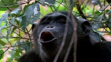 Displaying Chimps