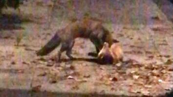 Watch a Fierce Fox Fight on a City Sidewalk
