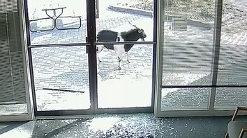 Goat 'Vandalizes' Local Business, Flees the Scene