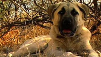 Dogs Save Cheetahs
