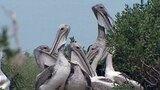 Pelican Banding