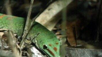 Gregarious Geckos