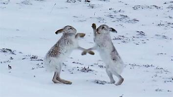 Boxing Match: Watch Female Hare Punch Her Suitors