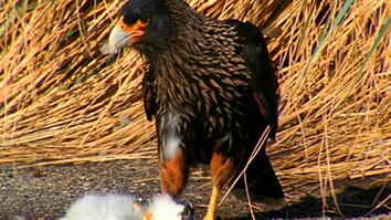 World's Deadliest: Caracaras Eat Baby Seabirds