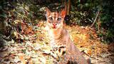 Elusive Golden Cat Filmed